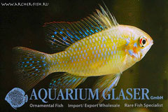 686733 Papiliochromis ramirezi Perlmutt/Pearl, g.br., Самец