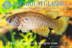 316834 Austrofundulus leohoignei