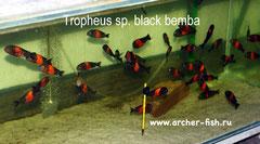 Tropheus Black Bemba