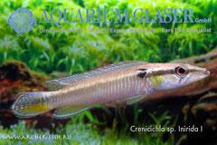 673563 Crenicichla sp.INIRIDAE I, Самка