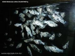 велифера-далматинец