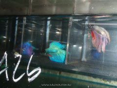 390555 Betta spl.MALE GIANT HALFMOON 2