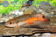 253404 Erythrinus erythrinus sp.orange