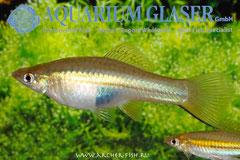 420164 Xiphophorus kallmani, Самка