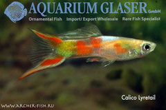 414643 Guppy Calico Lyretail