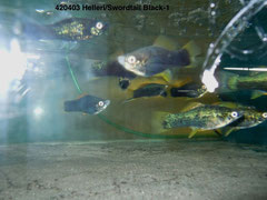 420403 Xipho. helleri swordtail Black