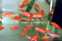 Tropheus Caramba Red Bishop