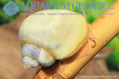 481112 Ampullaria sp. Ivory White