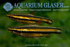 272094 Nannostomus marginatus New Рeru
