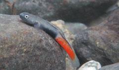Sicyopus cebuensis