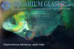 Osphromenus laticlavius Взрослый самец