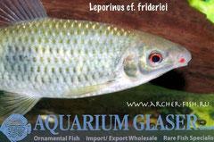 265922 Leporinus cf. friderici, Портрет