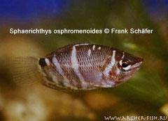 455803 Sphaerichthys osphromenoides