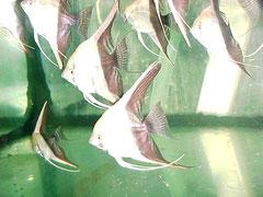 693503 Scalare bicolor
