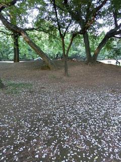 ▲花が散ったところ(野川公園)