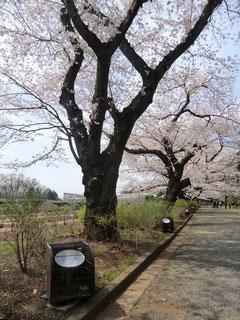 バラ園の横に回ると桜並木があり満開でした!ライトアップの照明らしきものも