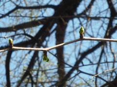 イチョウの新芽を芽吹いています