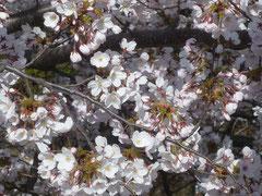 あの蕾の桜も満開です