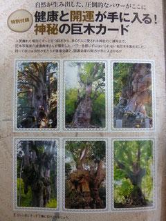 特別付録の巨木カード 持つだけでパワーみなぎります!