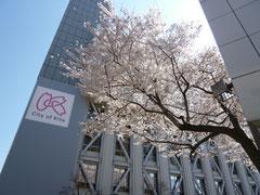 北区役所の桜も満開