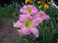 春 香 オリジナル品種