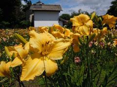 夏の光溢れるヘメロカリス園 1