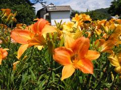 夏の光溢れるヘメロカリス園 3