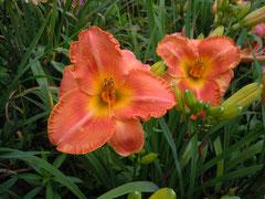 茶橙色広弁フリル花 オリジナル新花