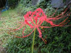 早咲きのプミラ(8月24日)