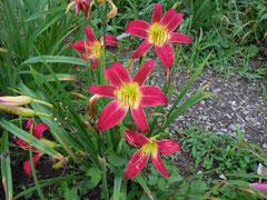 赤色剣弁オリジナル新花