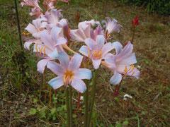 ナツズイセンに似た花?(8月24日)