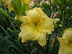 「黄衣」(きごろも)・オリジナル品種