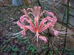 桃色白覆輪の個体