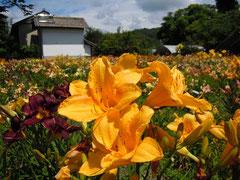 夏の光溢れるヘメロカリス園 4