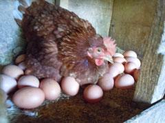 産卵中のニワトリ