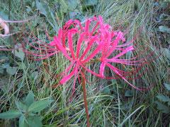 プミラからの実生花(試作品)、曲り少ない細弁花