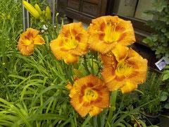 オリジナル実生新花