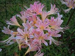 青味の乗るピンク花(実生試作品)