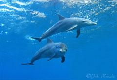 利島ドルフィンスイム中泳ぐイルカ