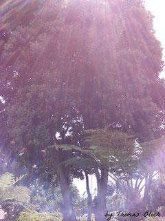 Kauri-Baum Ursprung Neuseeland Foto Madeira 2017