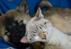 Un chiot de race eurasier couché lèche l'oreille d'un chat couché dans ses pattes par coach canin 16 éducateur canin en charente