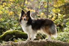 un colley tricolore dans un sous bois par coach canin 16 éducateur canin en charente