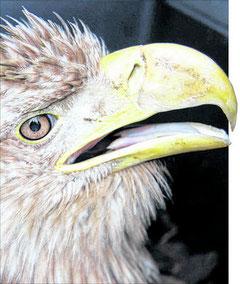 Dieses achtjährige Seeadler-Weibchen wurde stark geschwächt bei Torgelow gefunden. Es kam mit Atemnot in die Berliner Tierklinik, wo es jedoch verstarb. Foto: Nabu/Hallau