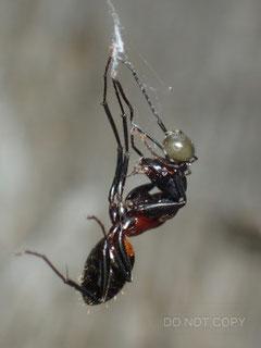 ボカシミジングモ、ムネアカオオアリを捕える 根来 尚