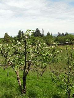 開墾当時(1970年)からの?リンゴの花