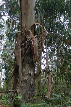 la végétation nous surprend: ce sont des eucalyptus