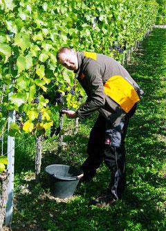 Christian Hiller bei der Weinlese