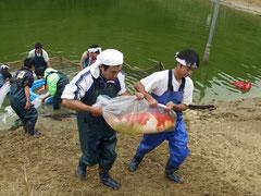 錦鯉の池上げ