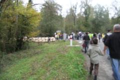 La transhumance quitte la route de Lasseube pour se diriger vers le Bois du Laring.