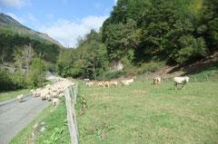 Les vaches s'imaginant voir passer le train...